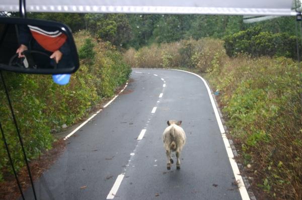 La vaca corriendo